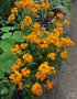 vignette Erysimum allionii 'Orange Queen'