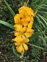 vignette Crocosmia masoniorum 'Rowallane Yellow'