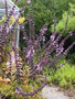 vignette Ocimum kilimandscharicum 'Magic Mountain'
