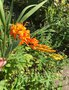 vignette Crocosmia masoniorum - Crocosmia géant orange