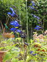 vignette Salvia guaranitica 'Black and Blue' ,