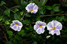 vignette Thunbergia erecta 'Fairy Moon'