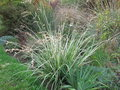 vignette Anthericum Starlight