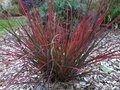 vignette Andropogon Red October