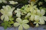 vignette Astrantia 'Yellow Leaf'