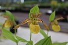 vignette Cypripedium