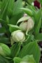 vignette Cypripedium Michael white