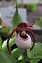 vignette Cypripedium Philipp