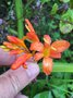 vignette Crocosmia 'Severn Sunrise'