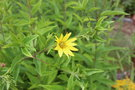 vignette Helianthus 'Lemon Queen'