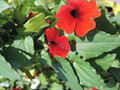 vignette Thunbergia alata 'Arizona Red'