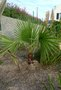 vignette washingtonia filifera 2