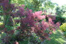vignette Cotinus coggygria 'Royal Purple'