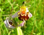 vignette Ophrys abeille , Ophrys apifera